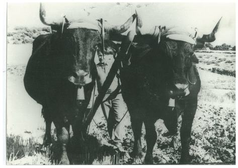 Vacas arando