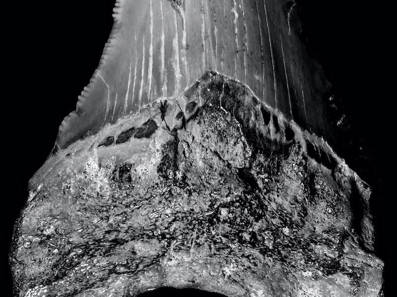 Diente fósil de Carcharocles megalodon (Mioceno). Imagen: Gabriel Castilla.
