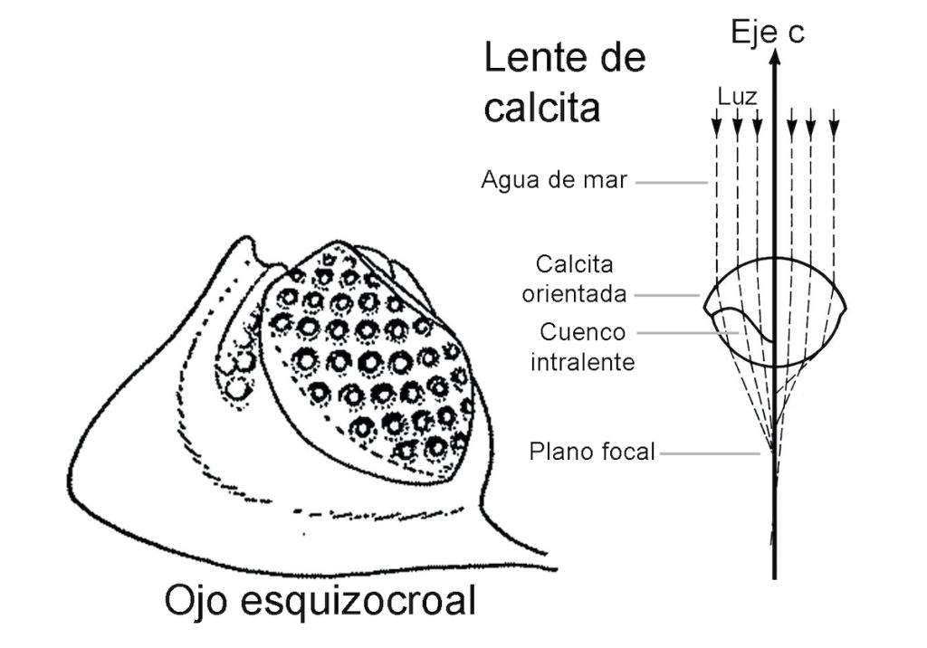 Esquema de un ojo esquizocroal y sección de una lente de calcita (Adaptado de Liñán, 1996 y Fortey, 2006).