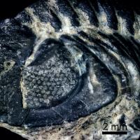 Trilobites, una extraña mirada desde el Paleozoico