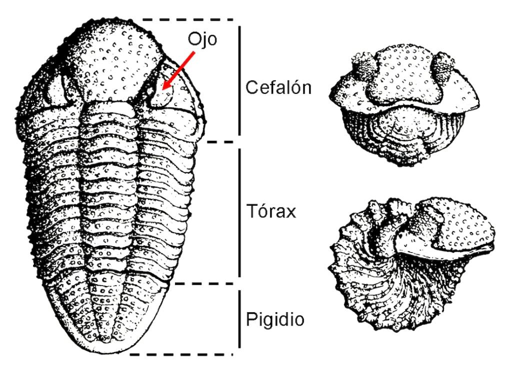 Anatomía general de un trilobites del género Phacops.