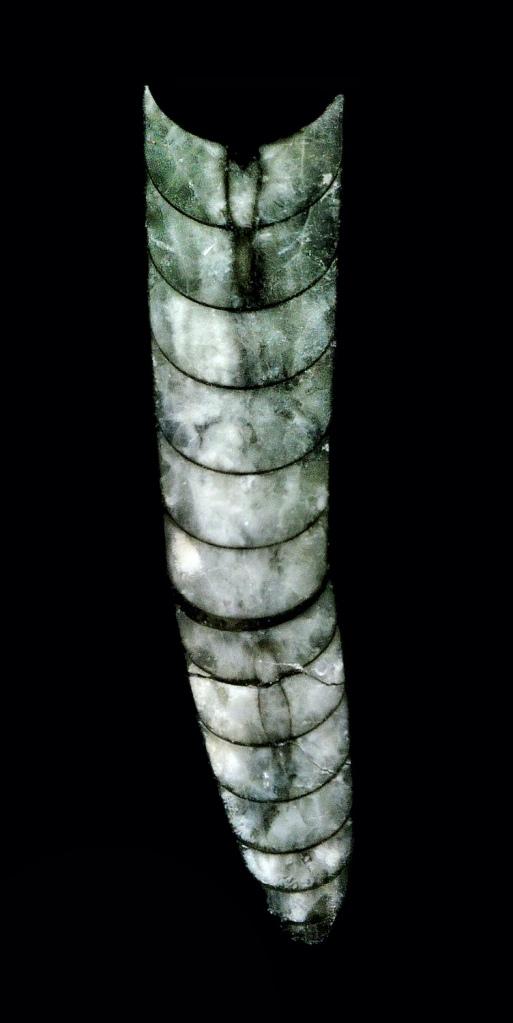 Sección pulida de un molde interno en una muestra de caliza con Orthoceras del Devónico Medio de Marruecos. Imagen: Gabriel Castilla.