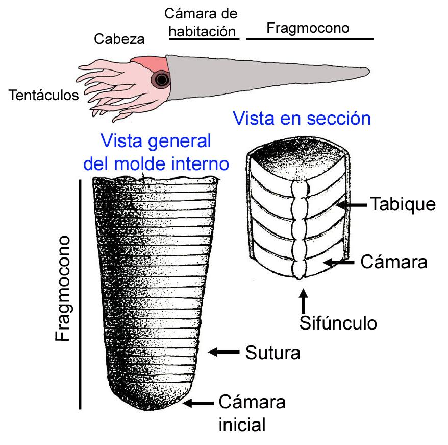 Esquema del molde interno de un Orthoceras. La concha tenía forma de torpedo, con una cámara de habitación (donde vive el animal) y un fragmocono (parte tabicada que controla la flotación). Adaptado de Meléndez (1983) y elaboración propia.