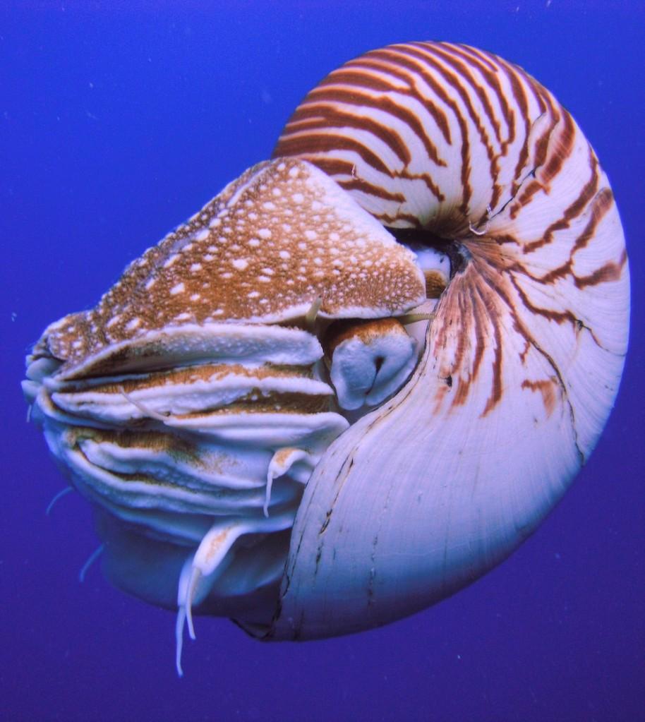Ejemplar de Nautilus de Palaos. Fuente: Wikimedia Commons.