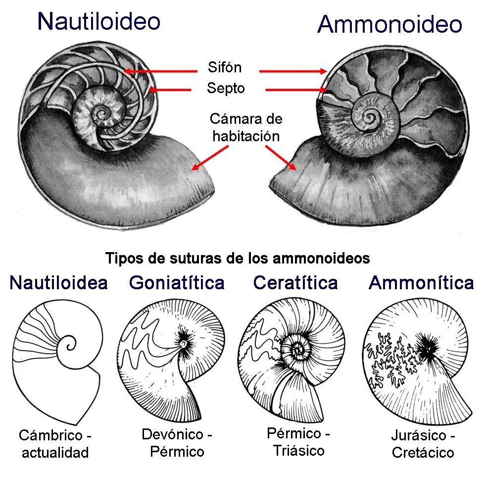 Esquema con las principales diferencias anatómicas entre nautiloideos y ammonoideos. Adaptado de García Ramos (1987), Lambert (1988) y elaboración propia.