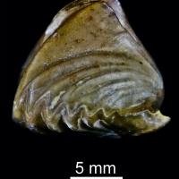 Braquiópodos, los otros bivalvos de la explosión cámbrica