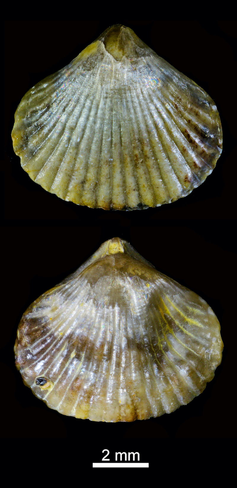 Braquiópodo del orden Rhynchonellida del Jurásico inferior (unos 200 millones de años) de Guadalajara. Imagen: Gabriel Castilla.
