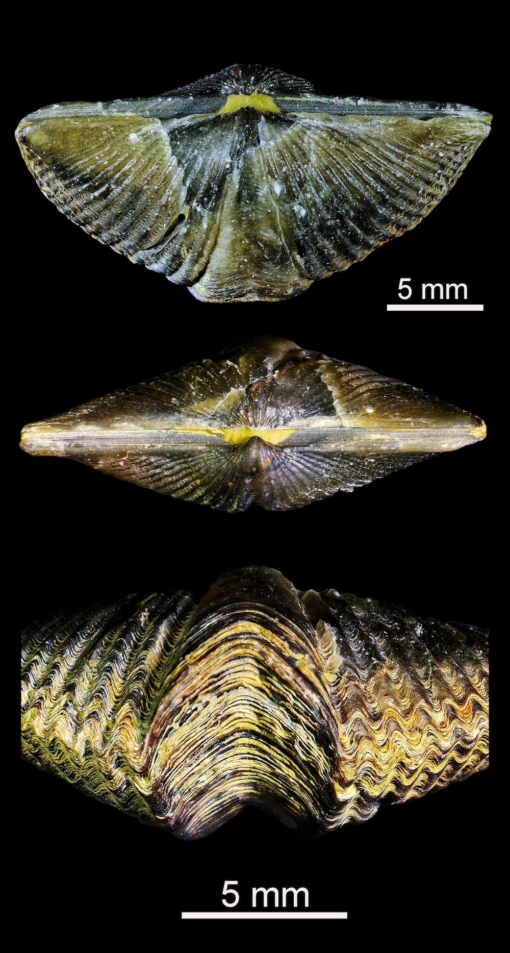 Tres vistas en detalle de un Mucrospirifer del Devónico de Canadá (hace entre 419 y 359 millones de años). Imagen: Gabriel Castilla.
