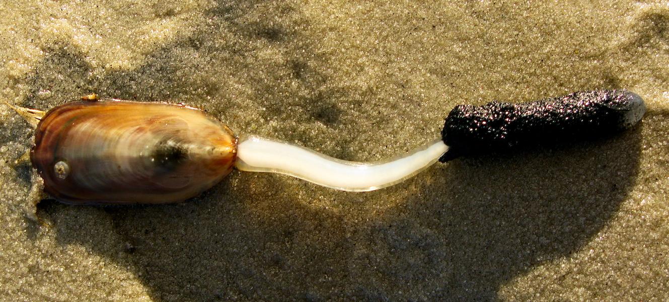 Ejemplar de Lingula anatina. Considerado durante mucho tiempo el fósil viviente más antiguo conocido, este honor es hoy tema de controversia entre los expertos. Wikipedia Commons.